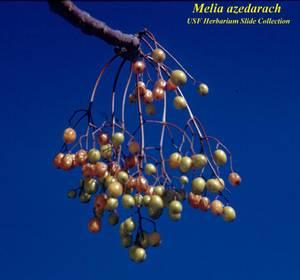 Melia azedarach