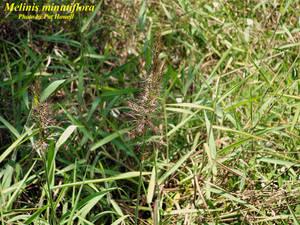Melinis minutiflora