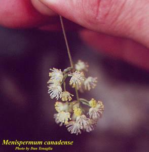 Menispermum canadense