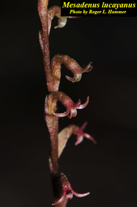 Mesadenus lucayanus