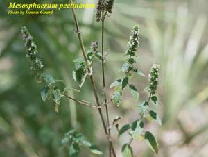 Mesosphaerum pectinatum