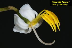 Miconia bicolor