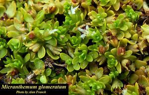 Micranthemum glomeratum