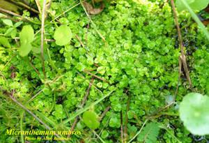 Micranthemum umbros