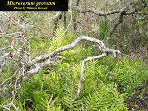 Microsorum grossum