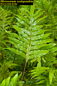 Microsorum scolopendria