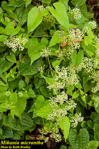 Mikania micrantha