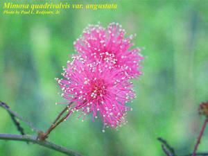 Mimosa quadrivalvis var. angustata