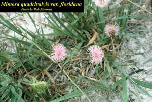 Mimosa quadrivalvis var. floridana