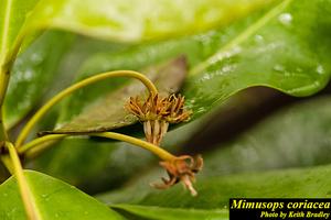 Mimusops coriacea