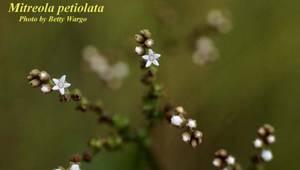 Mitreola petiolata
