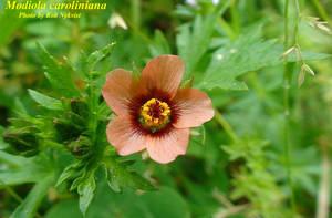 Modiola caroliniana