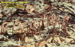 Monotropsis reynoldsiae