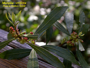 Morella cerifera