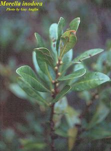 Morella inodora