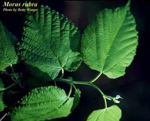Morus rubra