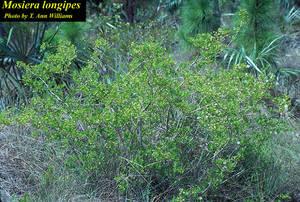 Mosiera longipes
