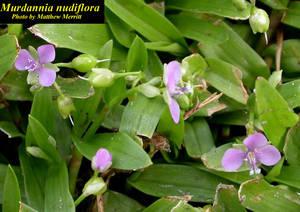 Murdannia nudiflora