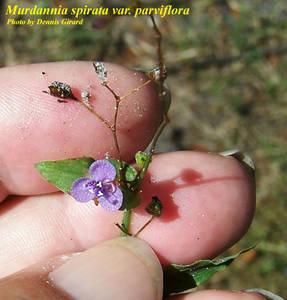 Murdannia spirata var. parviflora