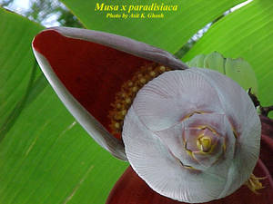 Musa x paradisiaca