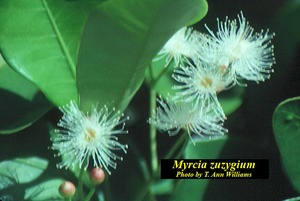 Myrcia zuzygium