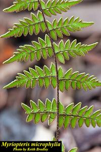 Myriopteris microphylla