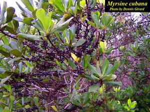 Myrsine cubana