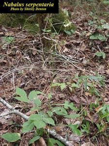 Nabalus serpentaria