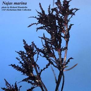 Najas marina