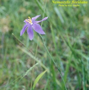 Nemastylis floridana