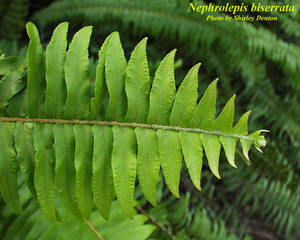 Nephrolepis biserrata