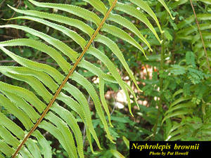 Nephrolepis brownii