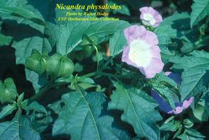 Nicandra physalodes