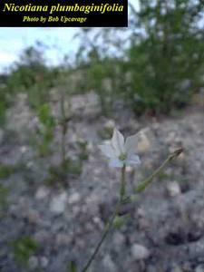 Nicotiana plumbaginifolia