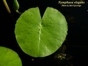 Nymphaea elegans