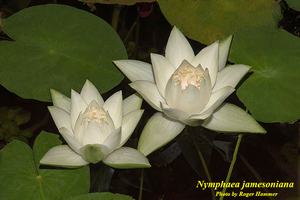 Nymphaea jamesoniana