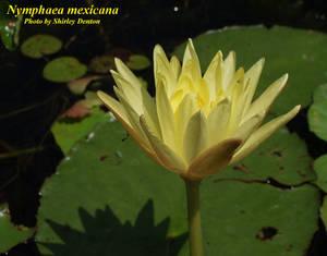 Nymphaea mexicana