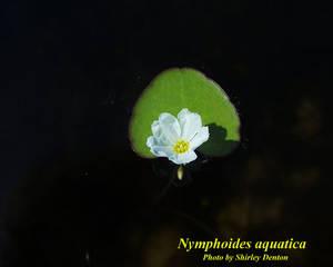 Nymphoides aquatica