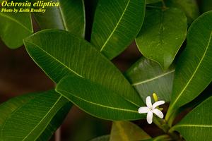 Ochrosia elliptica