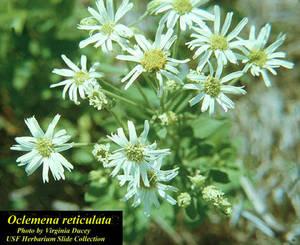 Oclemena reticulata
