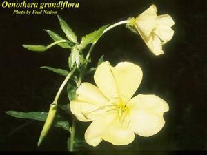 Oenothera grandiflora