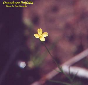Oenothera linifolia