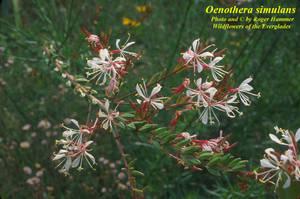 Oenothera simulans