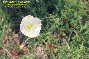 Oenothera speciosa