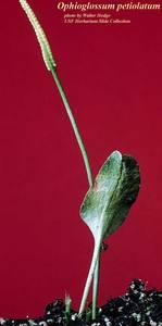 Ophioglossum petiolatum