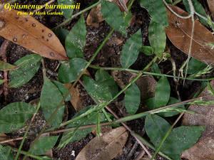 Oplismenus burmannii