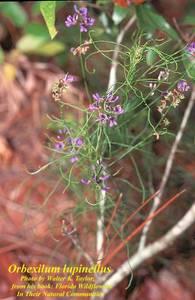 Orbexilum lupinellus