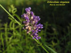 Orbexilum virgatum