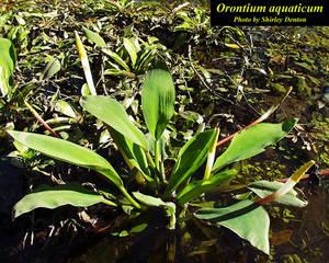 Orontium aquaticum