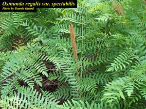 Osmunda regalis var. spectabilis